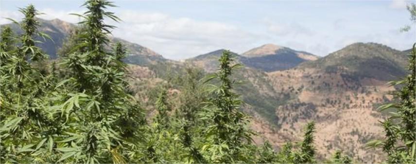 cannabis-marihuanna-cbd-suisse